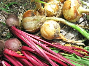 Beets and onions, soil testing