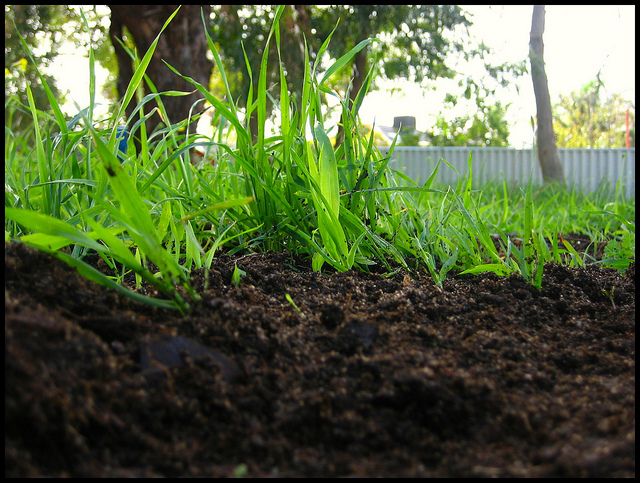 apply compost for a healthy lawn