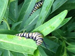 monarch caterpillars-norfolk