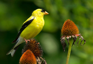 Goldfinch & Coneflower